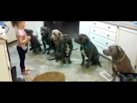 4 year old little girl feeding and controlling six pitbulls Girl Controls Future Dog Trainer