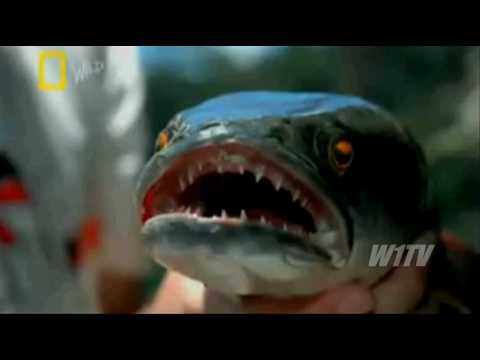 Peixe assassino cabeça de cobra assusta biólogos na Austrália Fishzilla