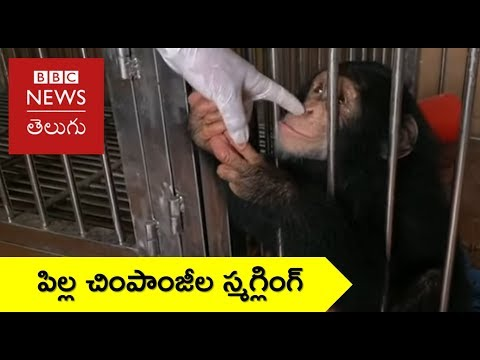 Xxx Mp4 Stopping Illegal Smuggling Of Baby Chimps BBC News Telugu 3gp Sex