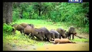 Jejak   Jejak Misterius Eps Babi Suradipa Raja Babi Yang Dapat Berubah Menjadi Manusia   13 Oktober