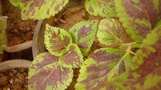 زراعة واكثار نبات السجادةكوليس مع الازهار coleus plant