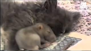 القط والفار