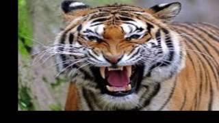Tiger :- Latest Upload News