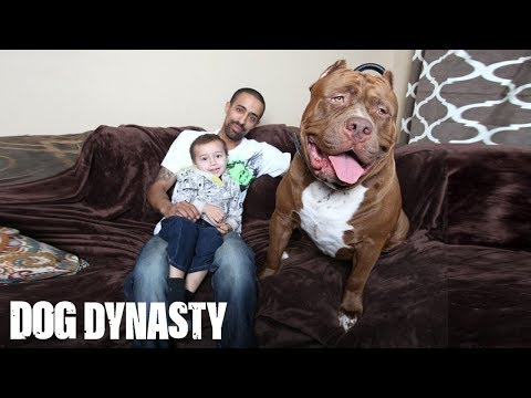 Meet Hulk The Giant 175lb Family Pit Bull