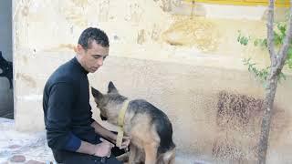 الكلبة سمسمه بعد فتره قريبه من التزاوج / نتمنى من الله نجاح حملها