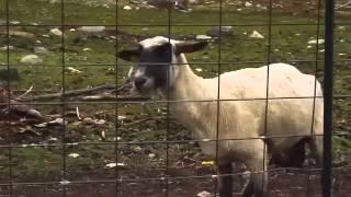 Le mouton crie