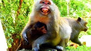 What does it mean? Monkey very frighten with baby under , Big baby still breastfeed #2740