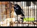Download Masteran burung suara burung kacer gacor juara nasional hd