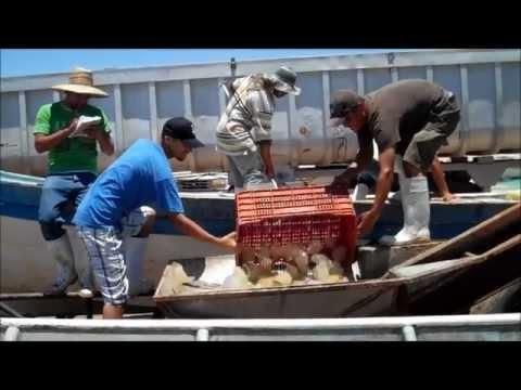 El Golfo De Santa Clara Medusas Aguamalas Cosecha 07 2012 El Golfo Jellyfish Harvest July 2012