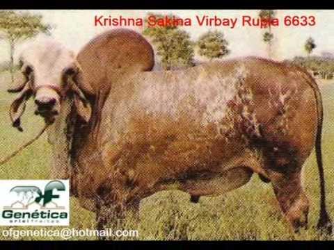 Linhagem Krishna II Gir Gyr Bull Ganadero farm insemination