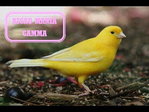 Kicau Suara Burung Kenari Paling Gacor Dan Terbaik