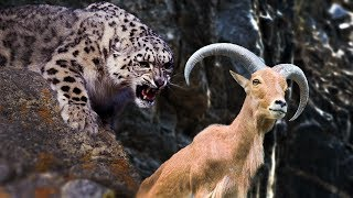 Animals attack -  Snow Leopard Attack Mountain goat and yak
