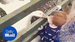 Hilarious moment angry goose teaches toddler a lesson - Daily Mail