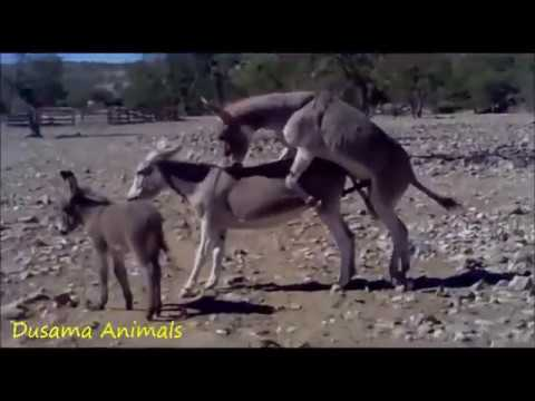 The Animal World : Donkey  Mating