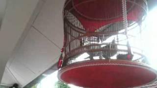 Suara Burung Merbok B