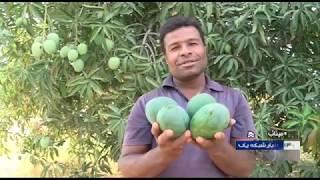 Iran Unripe Mangoes fruit harvest & processing, Spring 1398, Minab برداشت و فرآوري انبه نارس ميناب