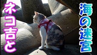 お散歩猫ネコ吉、海の迷宮に挑む A cat challenging the maze of the sea