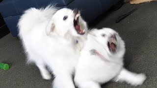 Why are these dogs fighting? (YIAY #434)
