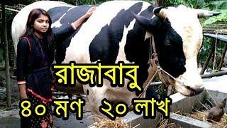 ১৫৬০ কেজির বৃহৎ গরু 'রাজা বাবু' উঠেছে কোরবানির হাটে ! Raja Babu | Today Bangla News