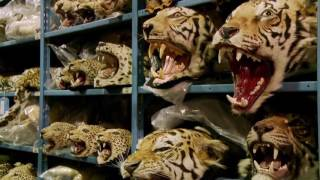 Racing Extinction (2015) selected clips