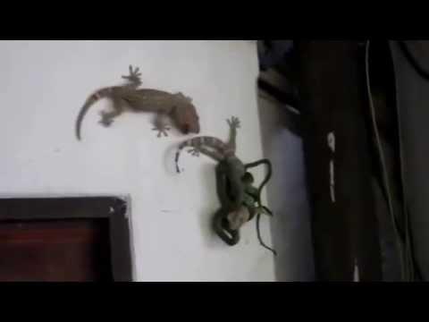 Huge Gecko Saves Life Of His Mate vs. Snake AWESOME VICTORY