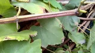 How to prune Grape Plant//Angur plant ki kat_chhat  kab, kyon aur kaise kare in(Hindi and Urdu)