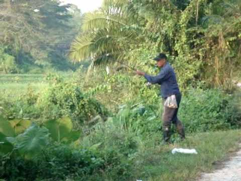 Operasi Haruan Dis 2008 Operation snakehead Dec 2008 channa striata