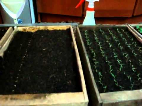 Когда сеять помидоры семенами на рассаду 278
