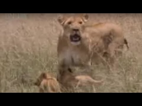 Wild lion feeds her cute baby animals a warthog snack for the first time BBC wildlife
