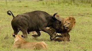 Documentary lion: enraged buffalo vs lion - Animal Film genre