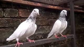 Breeder Pair (Laal Moti Wala)-lal moti wale pigeon-sialkoti pigeon-sialkoti kabootar-
