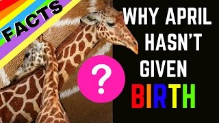 THE TRUTH: Why April the Giraffe Hasn