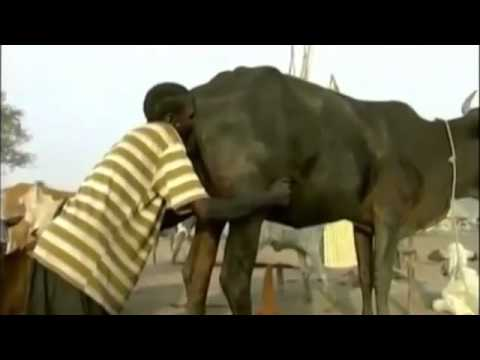 This is how to force cows to produce milk in africa