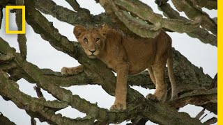 Tragic Poisoning of Lion Cubs in Uganda, a Filmmaker Reflects   National Geographic
