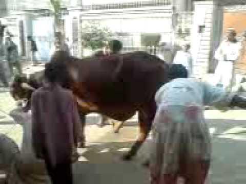 denger cow.3GP