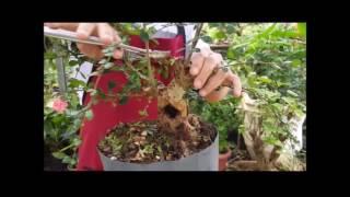 Planta tropical fase II - Carmona Microfila - Nipon Bonsai