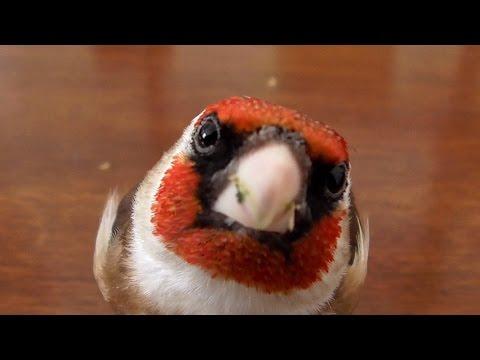 Curious European Goldfinch explores camera and desk