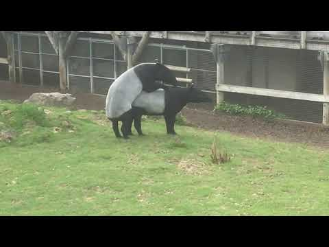 Xxx Mp4 Tapirs En Action 3gp Sex