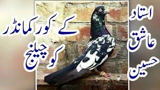 ustad shabbir k pigeons