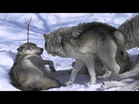 Female Timber Wolf in Heat - Parc Omega Canada