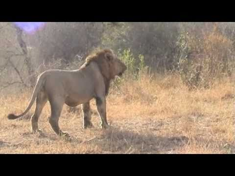 Female lions fighting for their cubs