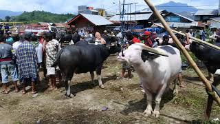 """""""kerbau bule"""" ada di pasar Rantepao-Tana Toraja"""