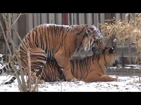 Tiger and Lions Mating Breeding