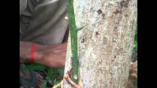 Mango Grafting Technique