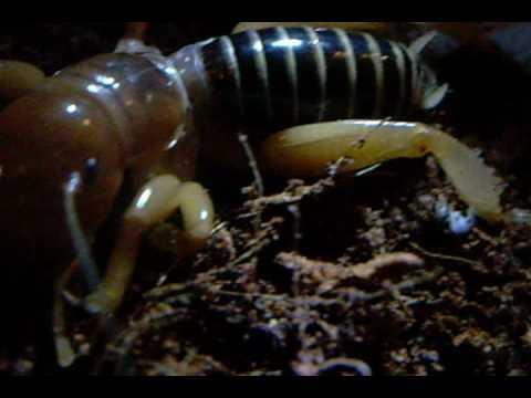 Stenopelmatus species Potato bugs Jerusalem crickets nino de la tierra part 1