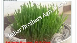 Hydroponic Green Fodder_Do it yourself By Babar Brothers Goat Farm