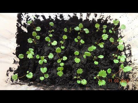 Как вырастить рассаду клубники самому 76