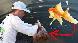 RELEASE 1000 GOLD FISH INTO MY POND