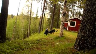 Grym, Young GSD. Video Dedicated To CanCzechDogs.com...