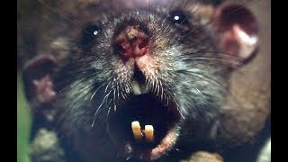 BLOODTHIRSTY RATS vs Mink and Dogs!